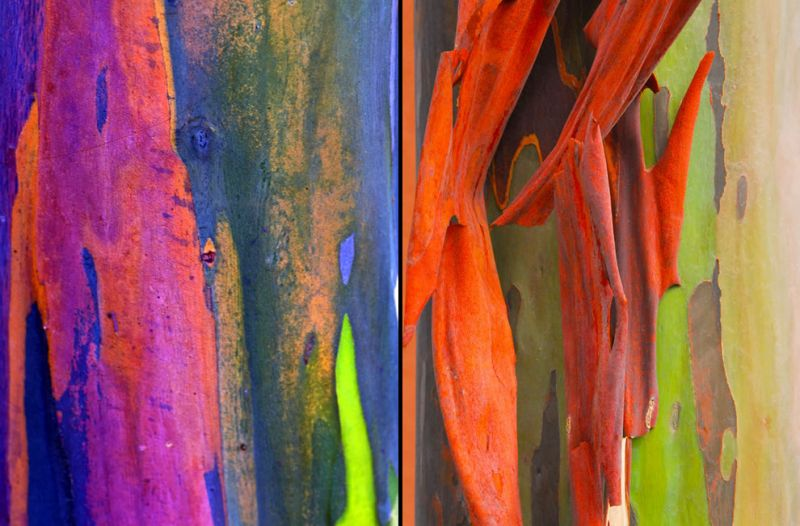 rainbow-eucalyptus-trees-go-from-bright-green-after-shedding-to-darkens-and-matures-to-give-blue-purple-orange-and-then-maroon-tones