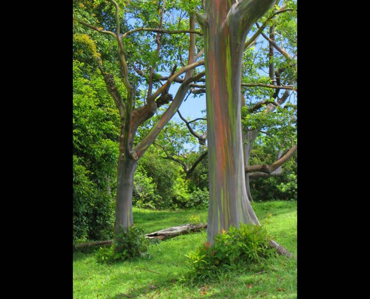 the-other-rainbow-in-maui-rainbow-eucalyptus-trees