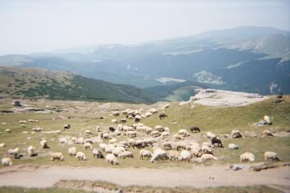 INCREDIBIL! Oile vor umbla LIBERE pe DRUMURILE NAȚIONALE din România, ca să atragă turiști!