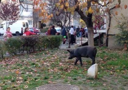 Aradul în CARANTINĂ?! Virusul pestei porcine africane se răspândește cu repeziciune. Reacție palidă a autorităților, cereri de demisie