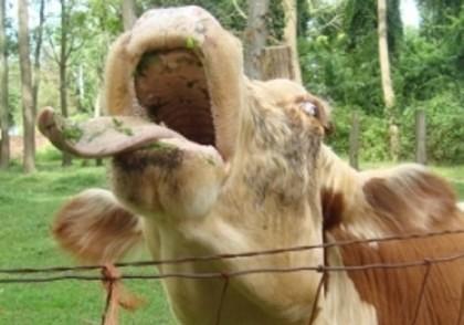 CA LA NOI, LA NIMENI! O vacă a DISTRUS zeci de metri de trotuar (FOTO)