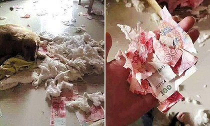 Pic shows: The money.nnA husband who tried to hide a private stash of money from his wife inside a blanket was busted when their curious pet dog ripped it open to reveal the cash.nnThe man had hoped to avoid handing over all his earnings to his control-freak wife.nnBut was left red-faced when he could not explain the secret pile of banknotes.nnReports said the man had hidden around 3,800 RMB (395 GBP) from his wife in a thick blanket in his home in Lvshun City, China.nnHe had hoped to use it during outings with friend when his wife refused to give him an allowance.nnHowever, he was caught in the end when their three-month-old golden retriever got hold of the quilt and ripped the stuffing out, revealing dozens of red Chinese 100 RMB (10 GBP) notes.nnWhen the angry wife enquired about the money, the husband initially lied and said he was keeping it to buy eggs.nnBut he later admitted hiding the cash when his wife told him how ridiculous his excuse sounded.nnFour of the banknotes were shredded by the pup, and the rest were taken by the man¿s wife.nn(ends)