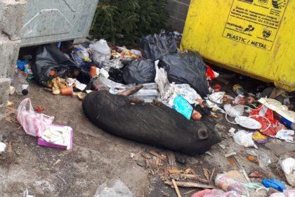 Anchetă a autorităților după descoperirea unui porc mort, aruncat la gunoi