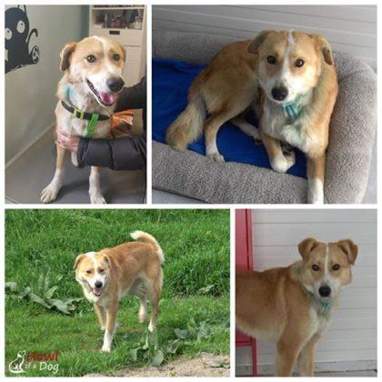 Gest RESPECTABIL! Un câine grav RĂNIT a fost SALVAT de un grup de români și a ajuns în AMERICA