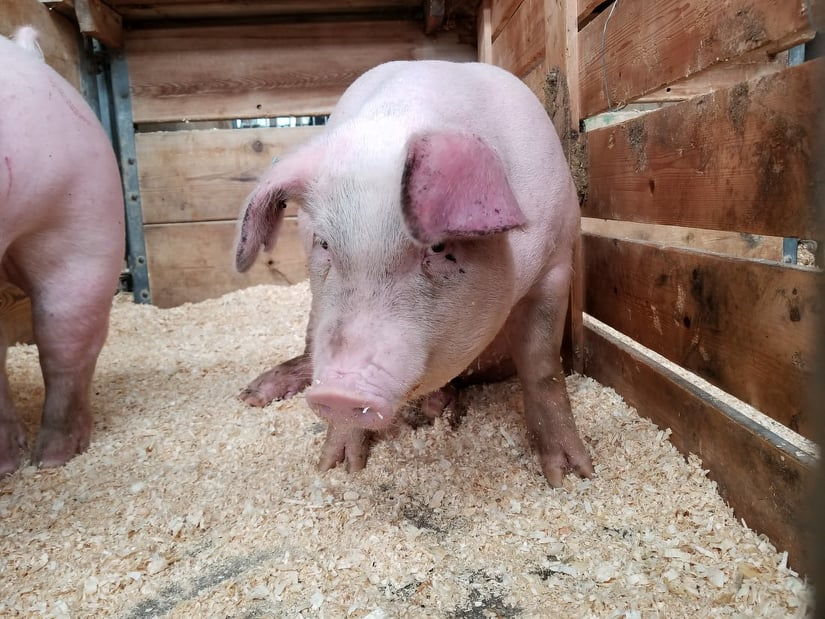 Vicepreședintele-subsecretar de stat al ANSVSA, în ședință la Arad! Măsuri DRASTICE pentru combaterea pestei porcine