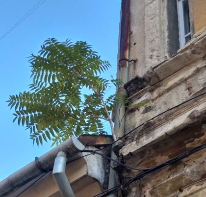 """Aradul, """"oraș verde"""". În urbea noastră copacii cresc PE CLĂDIRI (FOTO)"""
